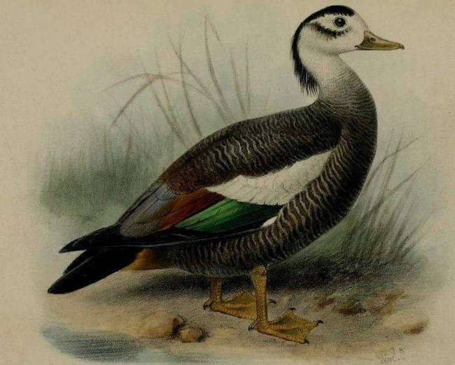 Чубаті пеганки відносяться до виду птахів, які перебувають на межі вимирання.