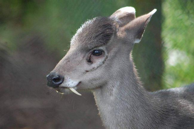 Чубатий олень: мила мордочка, але гострі ікла.
