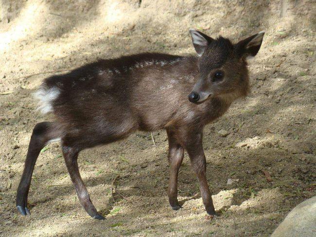 Чубатий олень - травоїдна тварина.