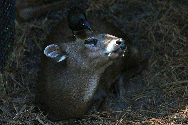 Чубаті олені - полохливі істоти.