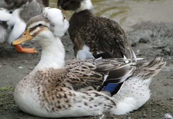 Каченята української чубатого качки