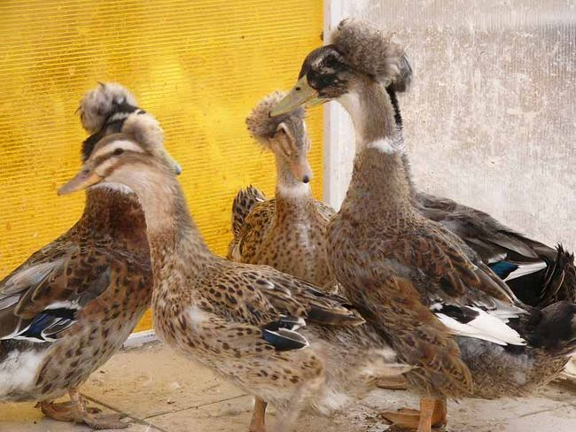 Фото кольорових чубатих качок