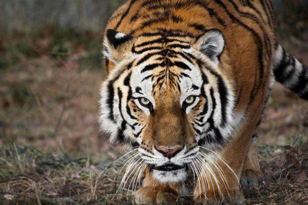 Безстрашний індійський пес розправився з тигром, які намагалися напасти на господаря пса.