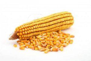 Особливості зберігання кукурудзи