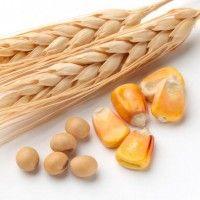 Липневі прогнози балансу пшениці і кукурудзи
