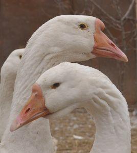 Ліндовскіе гуси