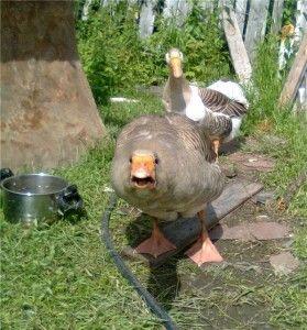 Володимирська порода гусей фото