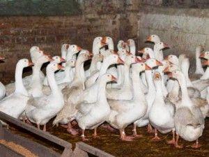 Емденскіх гуси порода фото
