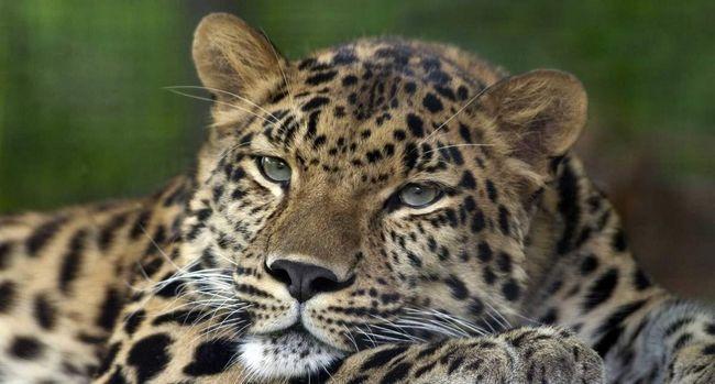 Індійський леопард (Panthera pardus fusca).