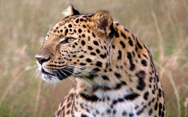 Індійський леопард - рідкісна тварина.