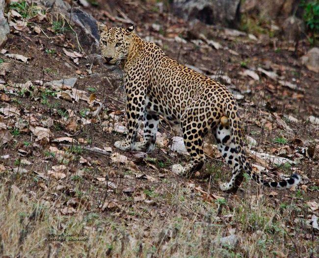 Головний ворог індійського леопарда - тигр.