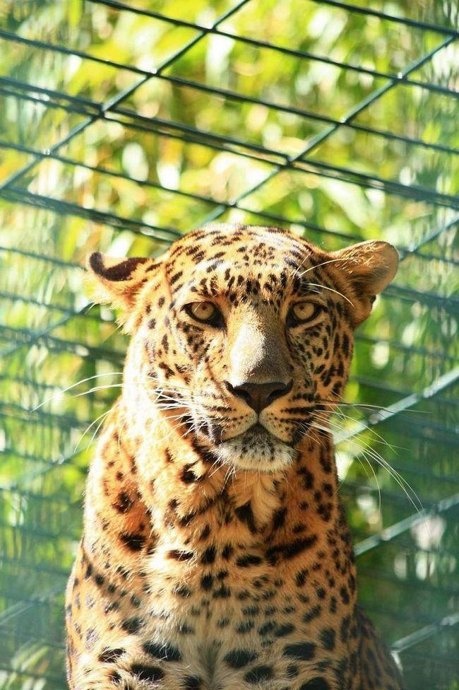 Індійський леопард - хижа тварина.