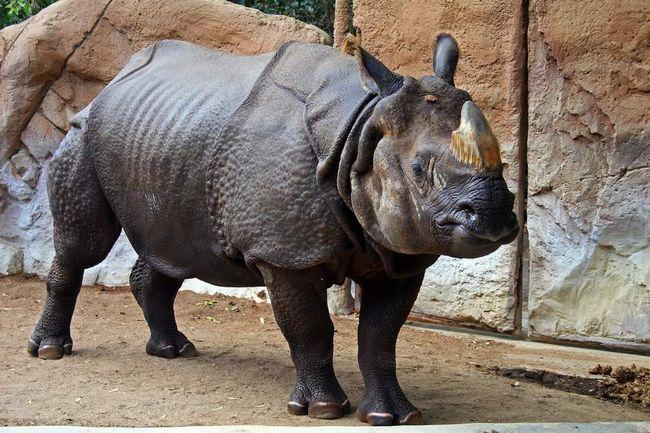 Індійський носоріг (Rhinoceros unicornis).