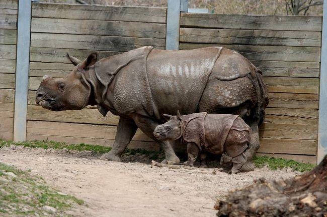 Самка індійського носорога з дитинчам.