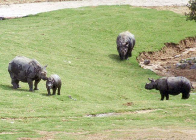 Носороги - стадні тварини.