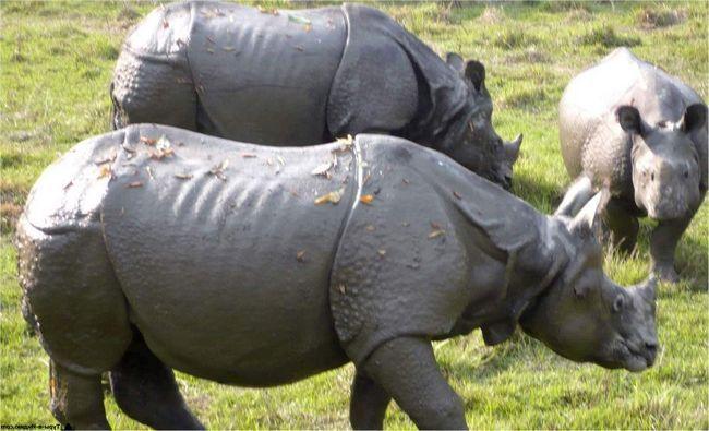 Ці носороги живуть близько 60 років.