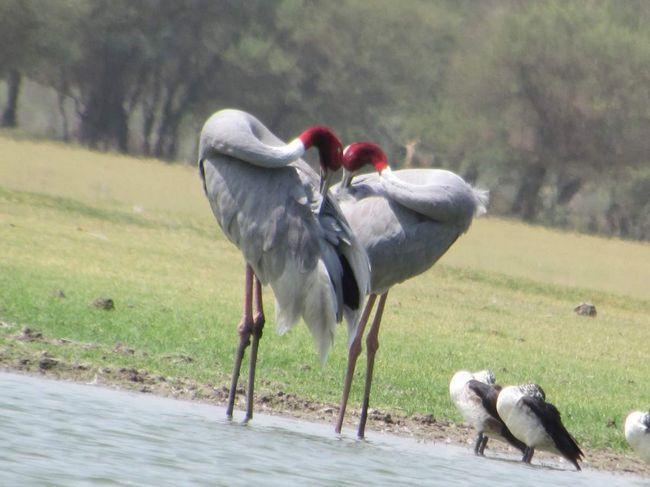 Індійські журавлі створюють пару на все життя.
