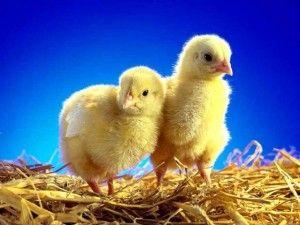 інкубація курчат
