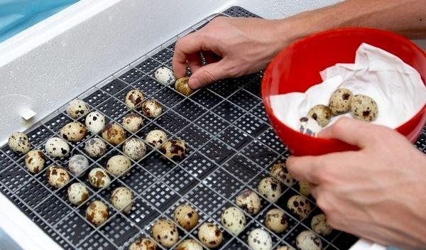 Розкладання перепелиних яєць для подальшого виведення