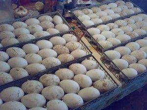 Фото яєць в інкубаторі