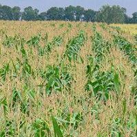 Інтенсивна технологія вирощування кукурудзи