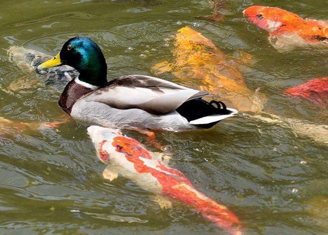 Наочний приклад дружби коропів які і качок.