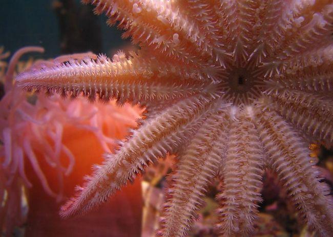 Морські зірки (лат. Asteroidea, грец. , що означає «зірка»)