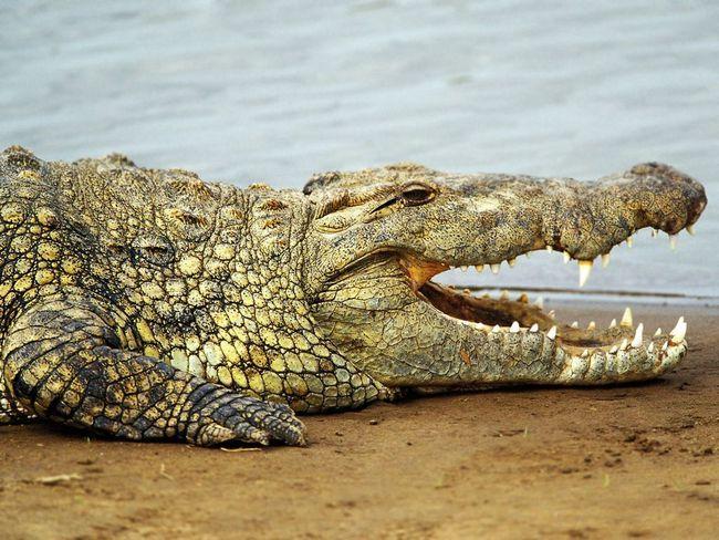 Цікаві факти про крокодилів