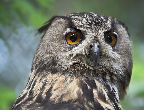 Найбільша живе сова - євразійський пугач (Eurasian Eagle Owl, Bubo bubo).