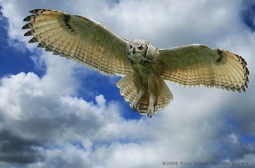 На передній частині крил сова має особливі нерівності, що викликають завихрення повітря. Це зменшує шум від крил, і робить політ безшумним.