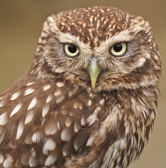Деякі з видів сов полюють вдень, наприклад, мала сова, Athene noctua