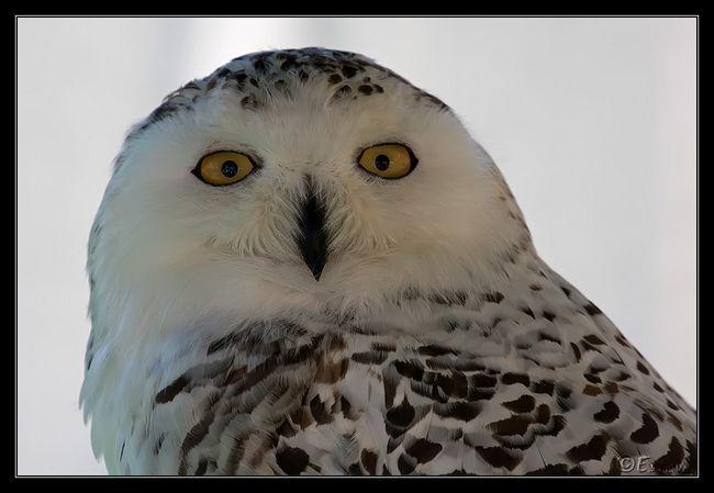 Деякі з видів сов полюють вдень, сніжна сова (Bubo scandiacus)