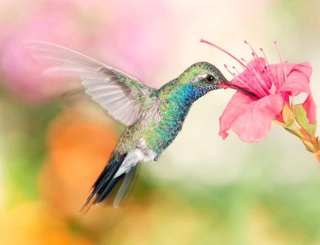 Колібрі - птах дивовижної краси.