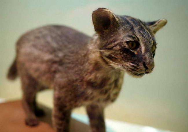 Іріомотская кішка (Prionailurus bengalensis iriomotensis).