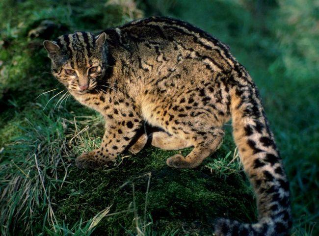 Японські дикі кішки уникають населених пунктів.