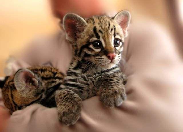 Вагітність становить 70-80 днів, в кінці квітня-травні на світ народжується 2-4 кошеня.