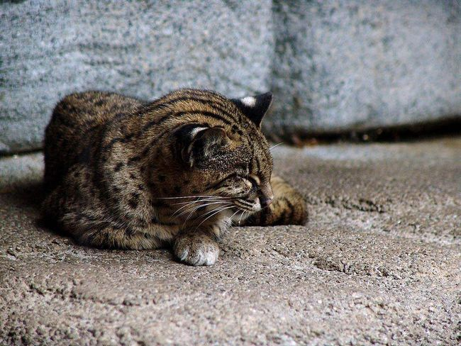 На острові Іріомоте м`ясо цих котів вважається делікатесом.