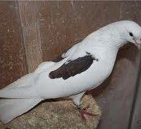 Іранські голуби фото
