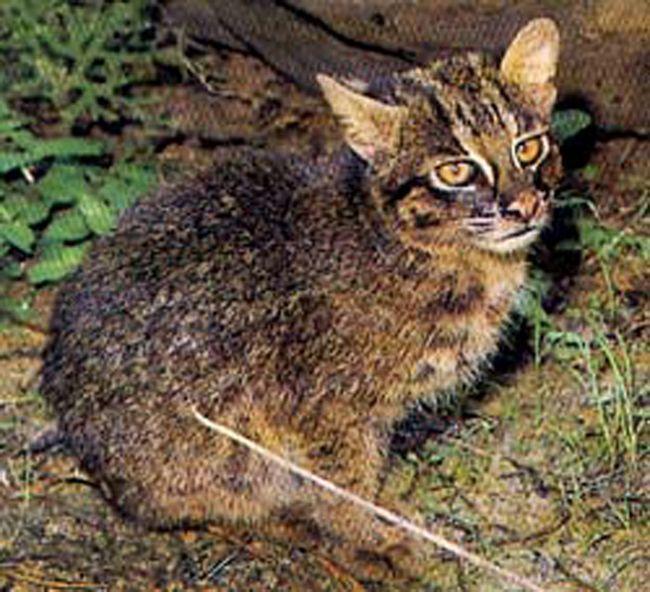 Іріомотейская, або японська дика кішка (лат. Prionailurus bengalensis iriomotensis)