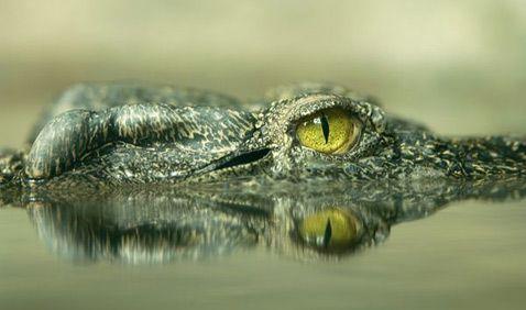 На голові існуючих в наш час кубинського і сіамскогопресноводного (на фото) крокодилів теж присутні кісткові вирости (фото Joel Sartore / National Geographic Stock).
