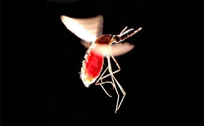 Названо найнебезпечніше вбивця в світі, ним виявився малярійний комар.