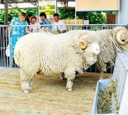 Витоки відродження вівчарства