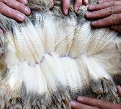 шерсть вівці фото