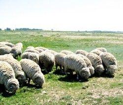 племінне вівчарство