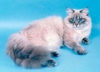 історія невської маскарадною кішки