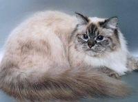походження невської маскарадною кішки
