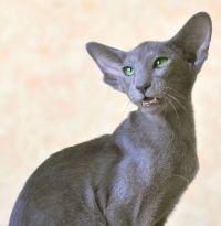 орієнтальна кішка історія породи