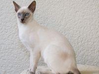 орієнтальна кішка походження