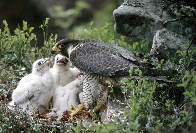 У національному парку зникли дорогі пташенята сапсана.