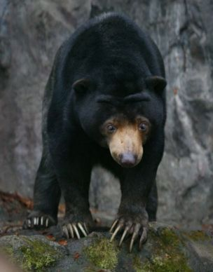 шестирічний малайський ведмідь